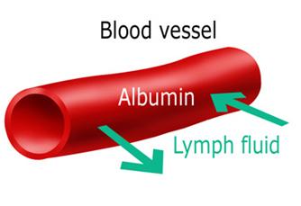fungsi hati memproduksi albumin