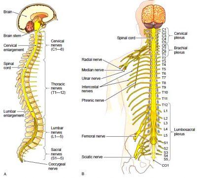 saraf spinal