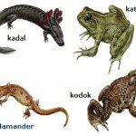 Ciri-ciri Amphibia