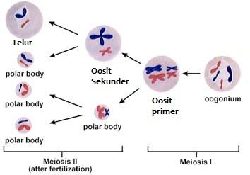 Pengertian Oogenesis
