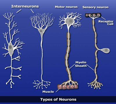 Pengertian interneuron dan Fungsi interneuron