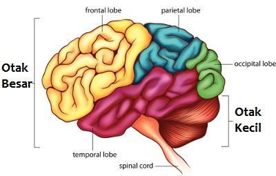 bagian-bagian otak dan fungsi otak