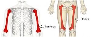 Perbedaan antara Femur dan humerus