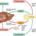 Perbedaan antara Hormon Insulin dan Glukagon