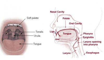 Perbedaan antara uvula dan epiglotis