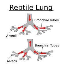 Sistem Pernapasan pada Reptil