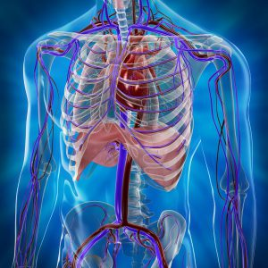 System Cardiovascular