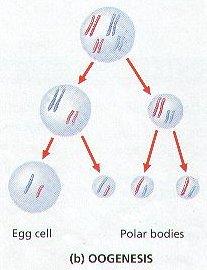 proses pembentukan sel ovum terjadi pada wanita
