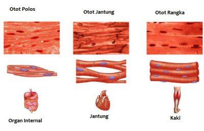3 Macam otot pada manusia