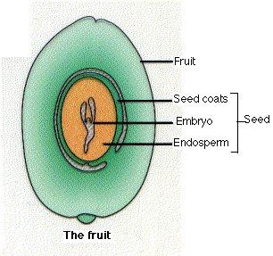 embrio tanaman