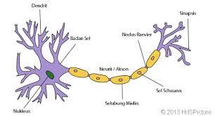 Jaringan saraf manusia