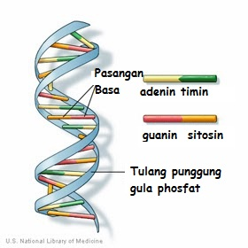 gambar struktur dna