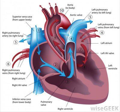 gambaran peredaran darah