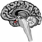 kelenjar pituitary
