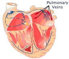 vena pulmonalis
