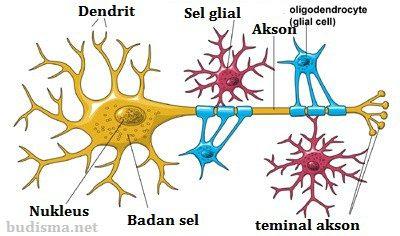 Neuron dan neuroglia