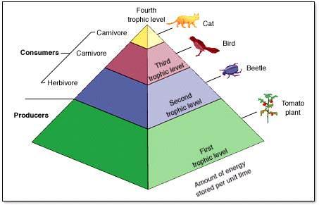 Pengertian Piramida ekologi