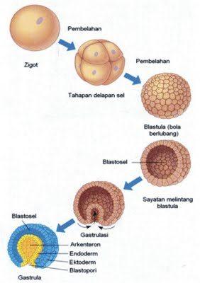 Perbedaan Blastula dan gastrula