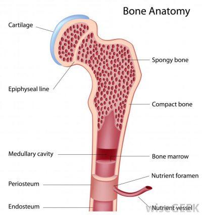anatomi tulang