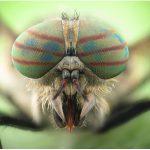 lalat pikat