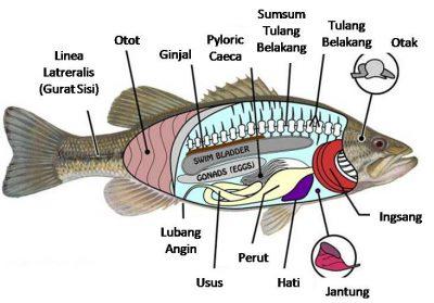 struktur tubuh ikan