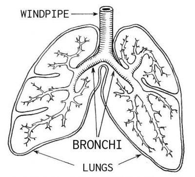 bronkus pada paru-paru sridianti