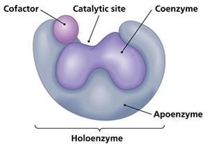 Perbedaan koenzim dan kofaktor