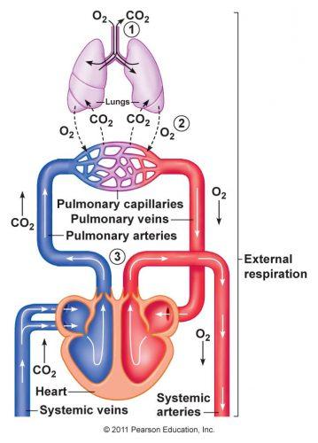 Respirasi internal
