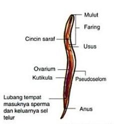 struktur tubuhh Nemathelminthes