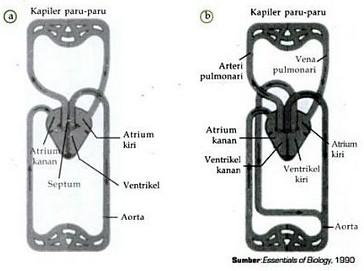 Sistem Peredaran Darah pada Burung (Aves)