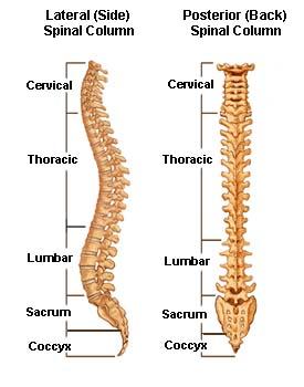 Ciri-ciri Tulang belakang