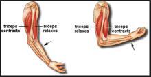 Otot Trisep dan Otot Bisep