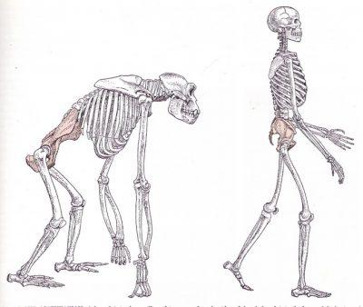 bipedalisme