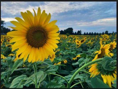 Bunga Matahari - Contoh Fototropisme