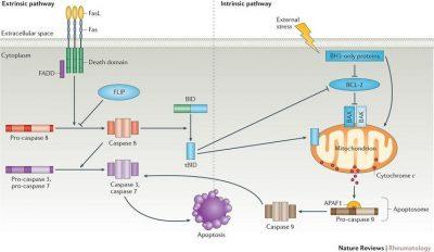 jalur apoptosis