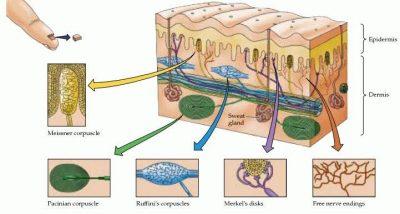 mekanoreseptor kulit