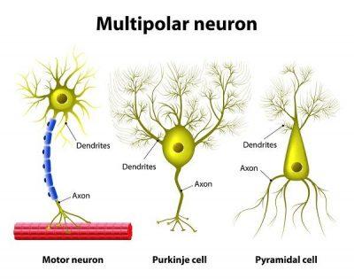 Jenis neuron multipolar