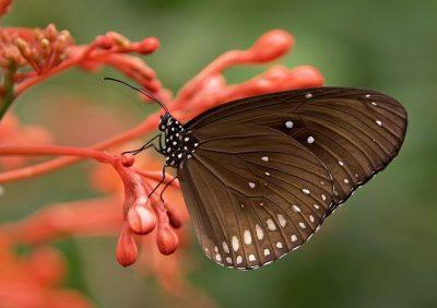 Sistem pernapasan pada kupu-kupu