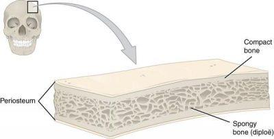 struktur tulang pipih