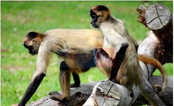 Monyet dunia baru