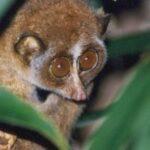 primata Lorisidae