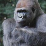 primata kera
