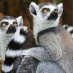 primata lemur
