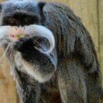primata monyet dunia baru