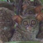 tarsius primata