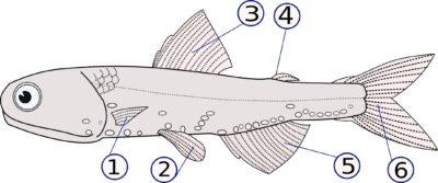 organ gerak ikan