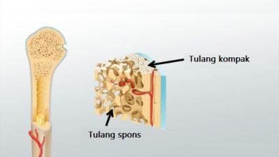 tulang spons dan tulang kompak