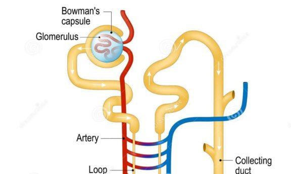 Apa itu Glomerulus