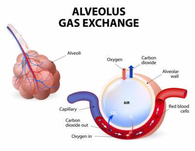 Fungsi alveoli adalah pertukaran gas