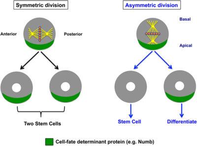 Mitosis dan Stem sel
